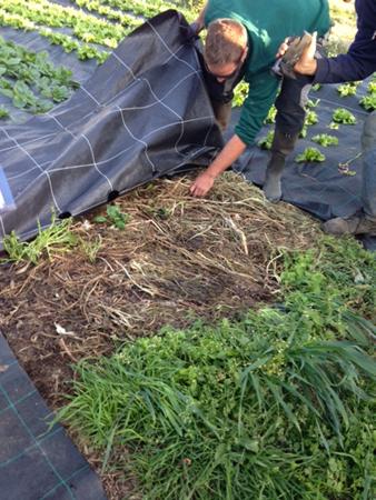 Spinat über Folie ohne Bodenbearbeitung