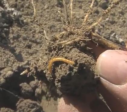 Neues Video: Biologische Bekämpfung des Dratwurms