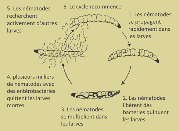 chrysomele cycle